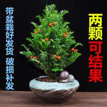 红豆杉树苗盆栽办公室内桌面绿植花卉客厅吸甲醛植物四季常青盆景