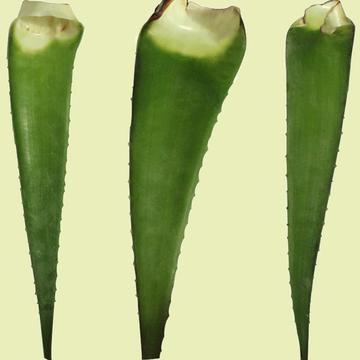 库拉索芦荟苗 库拉索芦荟叶片食用库拉索叶子