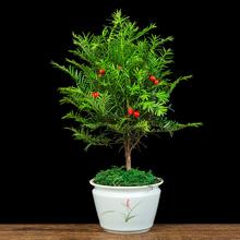 红豆杉盆栽室内客厅办公室緑植吸甲醛净化空气多年生耐寒耐旱植物