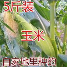 甜糯玉米白花粘黏香嫩非转基因浙江特产农家新鲜5斤玉米棒包谷