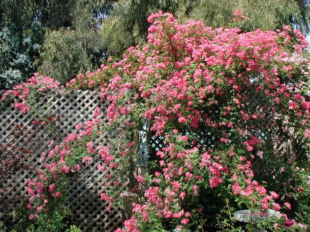 藤本月季 - 凝清坊花卉园艺 - 凝清坊花卉园艺